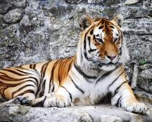 siberian-tiger-on-rock